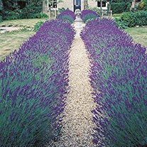 Lavender Hidcote Blue Flower Seeds