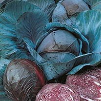 Cabbage (Red) Marner Large Red Organic Seeds