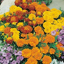 Marigold (French) Bonita Mixed Flower Seeds