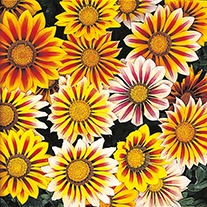 Gazania Tiger Stripes Mixed F1 Flower Plants