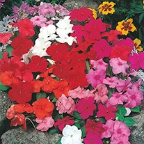 Busy Lizzie DTB Special Mixed F1 Flower Seeds