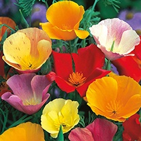 Californian Poppy Single Mixture Flower Seeds
