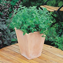 Herbs Oregano Seeds