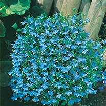 Lobelia (Edging Variety) Cambridge Blue Flower Seeds