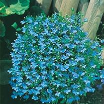 Lobelia (Edging Variety) Cambridge Blue Flower Seeds