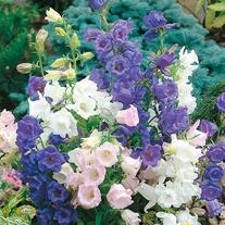 Canterbury Bells Cup & Saucer Mixed Flower Seeds
