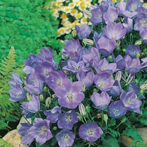 Campanula carpatica Blue AGM Seeds