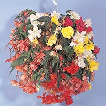 Begonia Illumination Mixed F1 Flower Seeds