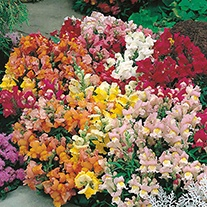 Antirrhinum Tom Thumb Mixed Flower Seeds