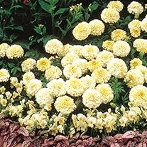 Marigold (African) Vanilla Ice F1 Flower Seeds