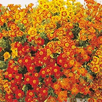 Tagetes Starfire Mixed Flower Seeds