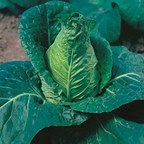 Cabbage Hispi F1 AGM Seeds