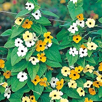 Thunbergia Susie Mixed Flower Seeds