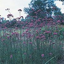 Verbena bonariensis Flower Seeds