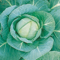 Cabbage Minicole F1 AGM Seeds