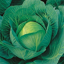 Cabbage Sherwood F1 AGM Seeds