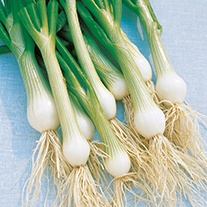 Onion (Spring) White Lisbon AGM Seeds