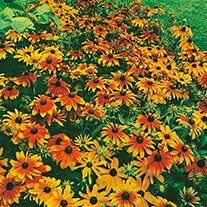 Rudbeckia Rustic Dwarfs Mixed Flower Seeds