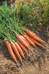 Carrot Artemis F1 Seeds