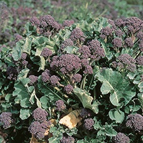 Broccoli Rudolph (Purple sprouting) Seeds