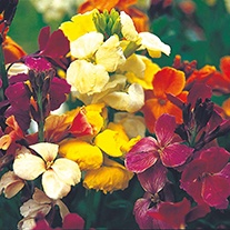 Wallflower Monarch Fair Lady Flower Seeds