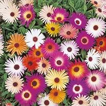 Mesembryanthemum Harlequin Mixed Flower Seeds