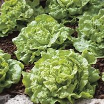 Lettuce Tom Thumb Seeds