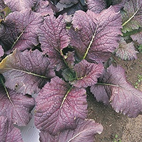 Oriental Greens Mustard Red Giant Seeds