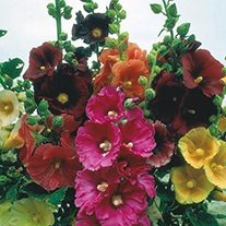 Hollyhock Single Mixed Flower Seeds