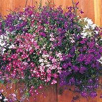 Lobelia (Trailing) Regatta Mixture Flower Seeds