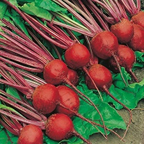 Beetroot Detroit 2 Organic Seeds