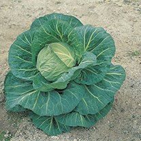 Cabbage Spring Hero F1 AGM Seeds