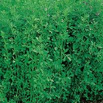 Green Manure Lucerne (Alfalfa) Seeds