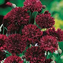 Cornflower Black Ball Flower Seeds