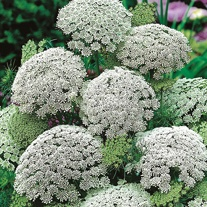 Ammi visnaga Flower Seeds