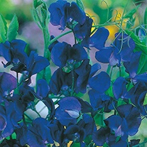 Sweet Pea (Tall) Spencer Blue Velvet Flower Seeds