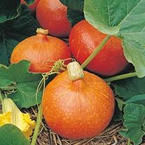 Squash (Winter) Uchiki Kuri Organic Seeds