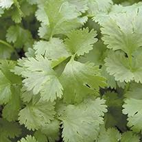 Coriander Leisure Herb Seeds