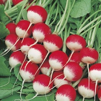 Organic Radish Sparkler AGM Seeds