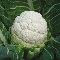 Cauliflower Serac F1 Seeds