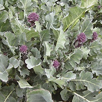 Broccoli Santee F1 Seeds