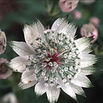 Astrantia Shaggy AGM Flower Seeds