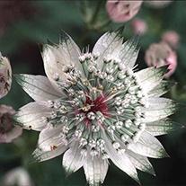Astrantia Shaggy AGM Flower Seeds