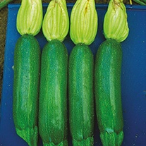Courgette Alexander F1 Seeds