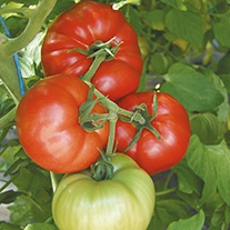 Tomato Country Taste F1 Seeds