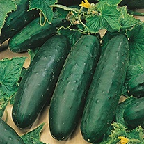 Organic Cucumber (Outdoor) Marketmore 76 AGM Seeds