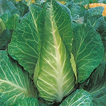 Cabbage Filderkraut Seeds
