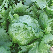 Lettuce Soleison Seeds