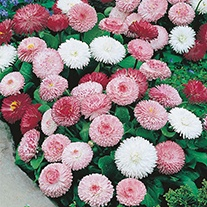 Daisy Goliath Mixed Flower Seeds
