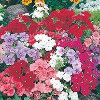 Phlox Beauty Mixed Flower Seeds